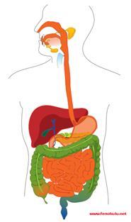 sindirim-sistemi-resmi.gif