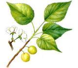 покрытосеменные растений